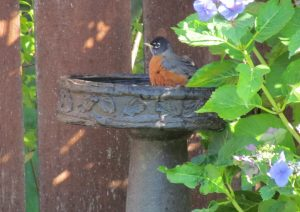 Robin in our yard loves our birdbath 2017