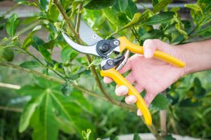 bittersweet time pruning dead branches by gardeningjourney dot com
