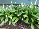 Snowdrops beside our home